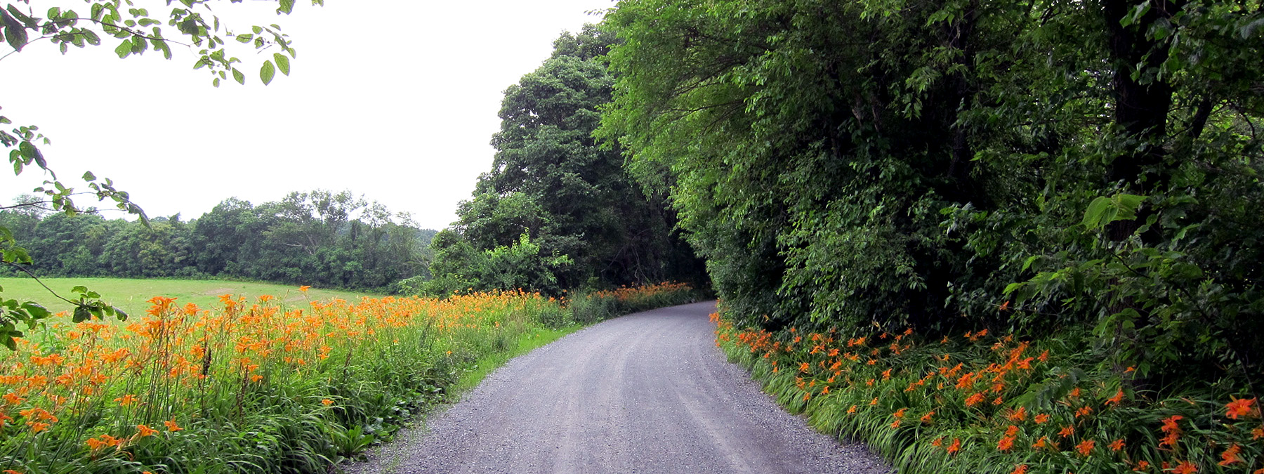 Rural road lined with daylilies
