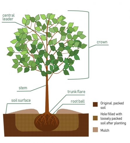 Diagram showing how to plant your new tree. Click for PDF with ful instructions