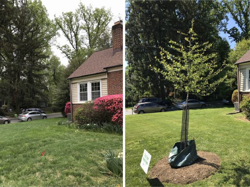 A newly planted black gum tree on a corner lot will ultimately offer some much-needed shade.