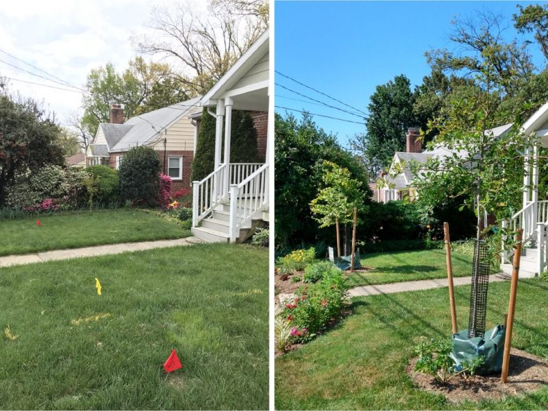 A black gum and an American hornbeam begin to shade a previously open area in front of a home.
