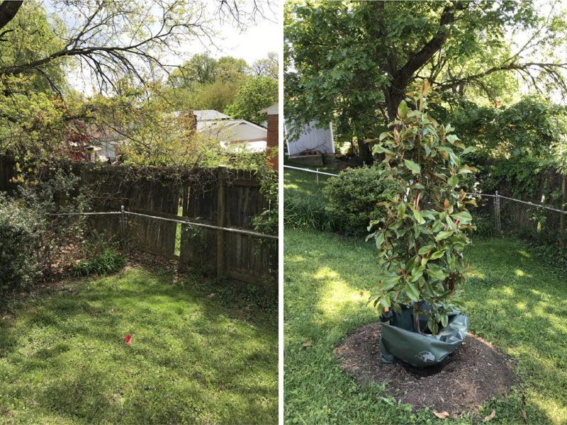 This Southern magnolia will provide year-round greenery at the edge of a yard.