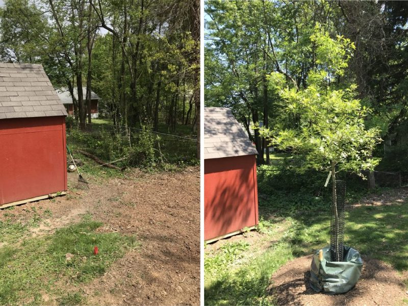 A pin oak fills a previously unplanted area in Spring 2021.